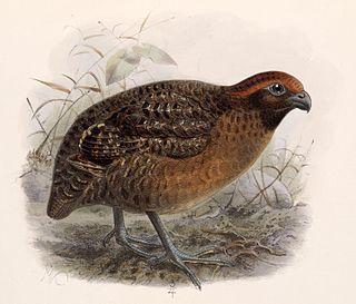 Black-eared wood quail Species of bird
