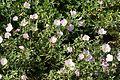Oenothera speciosa 1 2016-05-12.jpg