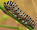 Old World Swallowtail (Papilio machaon) caterpillar (8349968670).jpg