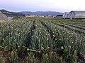 Onion fields in Tajiri, Nishi, Fukuoka 4.jpg