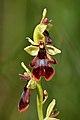 Ophrys insectifera - Niitvälja2.jpg