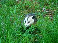 Opossum In The Grass.jpg