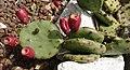 Opuntia humifusa Raf. fruit.jpg