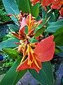 Orange Canna Lily (8).jpg