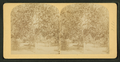 Orange grove, Florida, from Robert N. Dennis collection of stereoscopic views.png