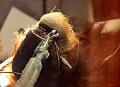 Orangutan under general anesthesia (7695541534) (2).jpg