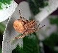 Orb Weaver Spider (181441916).jpg