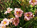 Orchid Daylily - 9335873177.jpg