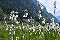 Orchidea palustre.jpg