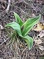 Orchis purpurea sl61.jpg