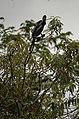 Oriental Darter Anhinga melanogasterfrom Ranganathittu Bird Sanctuary JEG4407.JPG