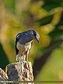 Oriental Magpie Robin (Copsychus saularis) (15402617403).jpg