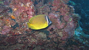 alt=Description de l'image Oriental butterflyfish.jpg.