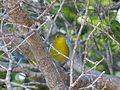 Oriente Warbler. Teretistris fornsi. Endemic - Flickr - gailhampshire.jpg