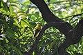 Oriolus chinensis 1.jpg