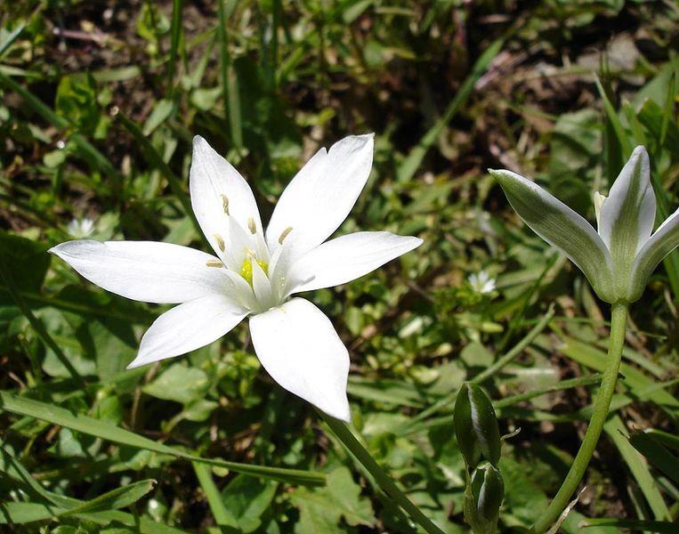 fleur blanche de la dame de onze heure