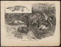 Ornithorhynchus paradoxus - 1884 - Print - Iconographia Zoologica - Special Collections University of Amsterdam - UBA01 IZ20300180.tif