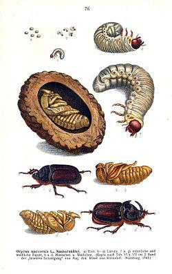 майский жук на нем паразиты