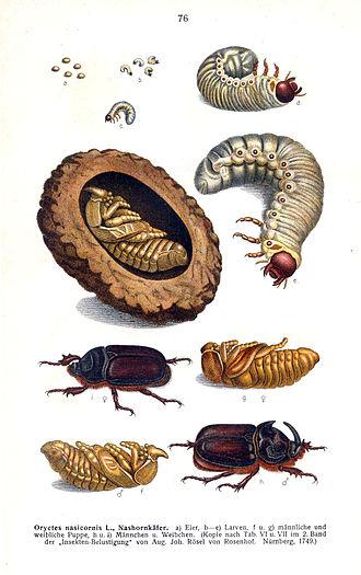 Edmund Reitter - Life Cycle of Rhinoceros Scarab; from Edmund Reitter's Fauna Germanica. Die Käfer des Deutschen Reiches. Band II (1909)