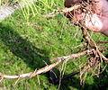 Oryza longistaminata rhizome.jpg