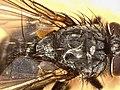 Oswaldia muscaria (40720949324).jpg