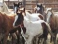 Owyhee Gather yearlings at PVC Dec. 7, 2012 (8252931199).jpg