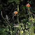 P20130819-0013—Lilium pardalinum—RPBG (9599735183).jpg
