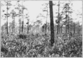PSM V85 D358 Long leaf pine forest without underbrush in florida.png
