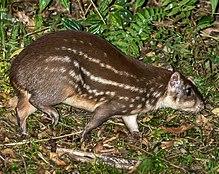 Everglades >> Lowland paca - Wikipedia