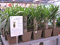 Pachypodiums lamerei.jpg