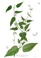 Paederia foetida Blanco1.54.png