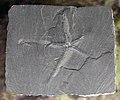Paleoasterias rhenana - Muséum de Grenoble.jpg
