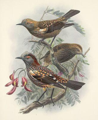 ʻAkohekohe - Illustration by John Gerrard Keulemans