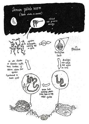 Palolo worm - Palolo worm life cycle