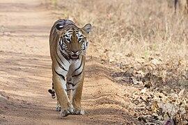 A tiger walking towards the camera