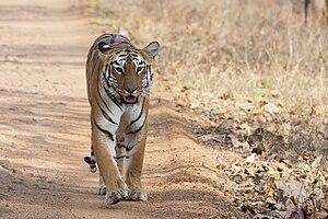 Tadoba Andhari Tiger Project