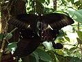 Papilio helenus - Red Helens mating 01.JPG