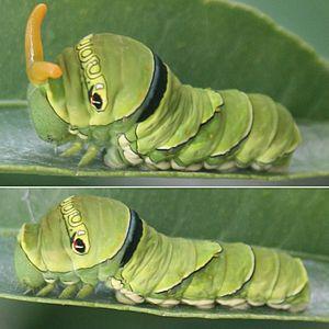 Papilio xuthus - P. xuthus larva - upper: osmeterium everted - lower: undisturbed