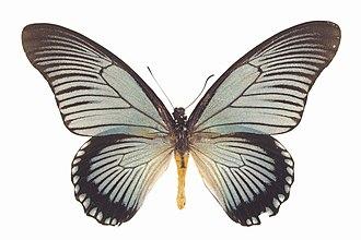Papilio zalmoxis - Image: Papilio zalmoxis ulster