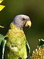 Parakeet Sunflower IIT Mandi Himachal Jun20 D72 16042.jpg