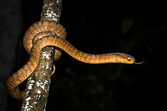 Pareas carinatus, Keeled slug-eating snake - Kaeng Krachan National Park (23826400254).jpg