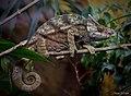 Parson's Chameleon (9786720481).jpg