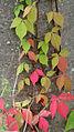 Parthenocissus quinquefolia 7818.jpg
