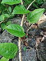 Passiflora suberosa subsp. suberosa.jpg