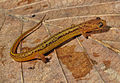 Patch-Nosed Salamander (15870327429).jpg
