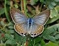 Pea Blue (Lampides boeticus) Female (6111498699).jpg