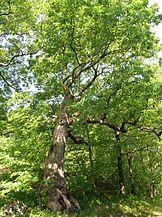 Peaceable Oak, Bristol, CT - June 18, 2011