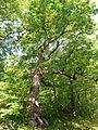 Peaceable Oak, Bristol, CT - June 18, 2011.jpg