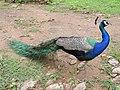 Peacock Sariska TR AJTJohnsingh 16082012 DSCN1673.jpg