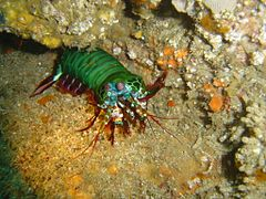 Peacock shrimp at Cathedral DSC05794.JPG